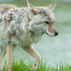1320 - Coyote, South Central Alaska.