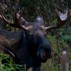 1290 - Bull Moose.  Alaska.