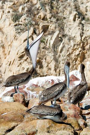 1254 - Pelican.  Cabo San Lucas, Mexico.