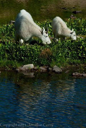 1159 - Mountain goat and baby.  Emerald Lake, Mt. Timpanogos, Wasatch Mountains, Utah.