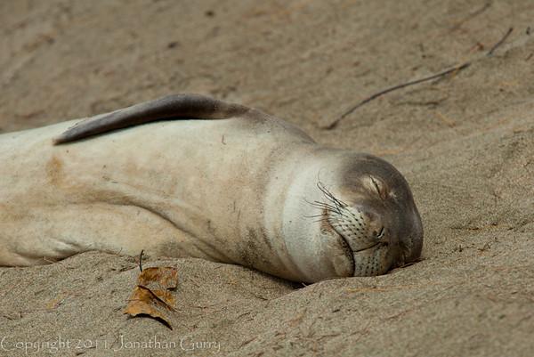 1238 - Monk Seal.  Kauai, Hawaii.