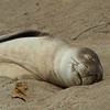 1238 - Monk Seal.  Kauai, Hawaii.