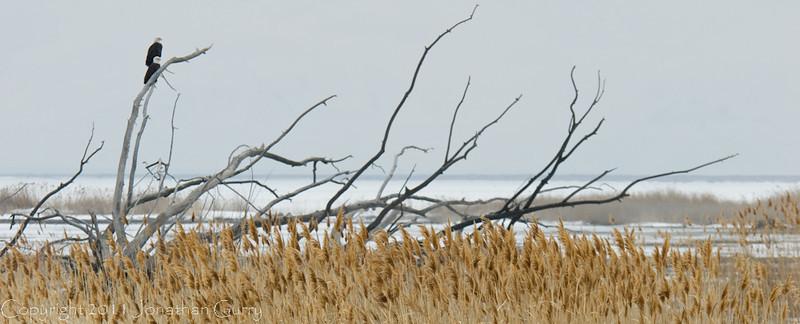 1110 - Eagles wintering on the Great Salt Lake, Utah.