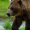 1318 - Brown Bear, South Central Alaska.