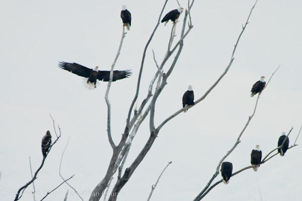 1107 - Eagles wintering on the Great Salt Lake, Utah.