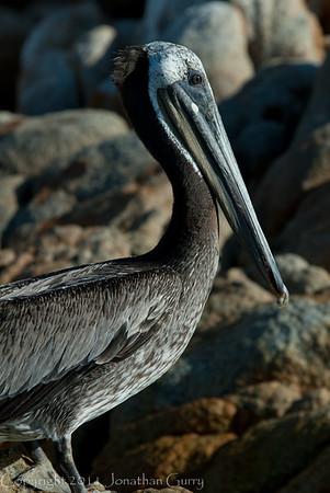 1248 - Pelican.  Cabo San Lucas, Mexico.