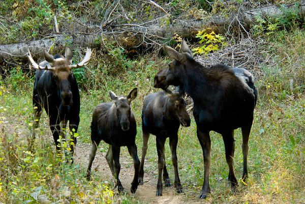 1059 - Bull, 2 calves, and Mama moose.  A rare site in the Wasatch Mountains, Utah.