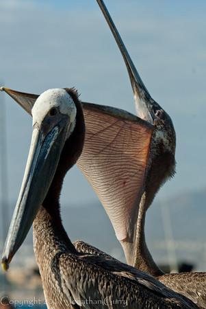 1251 - Pelican.  Cabo San Lucas, Mexico.