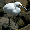 1247 - Great Egret.  Cabo San Lucas, Mexico.
