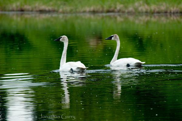 1324 - Swans, South Central Alaska.