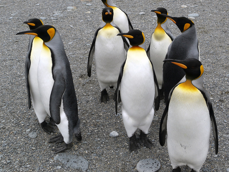 King penguins at St Andrew's Bay, South Georgia