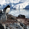 Nesting Gentoo penguin and chick on Cuverville Island, mainland Antarctic peninsula