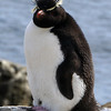 Rockhopper penguin on New Island, Falkland Islands