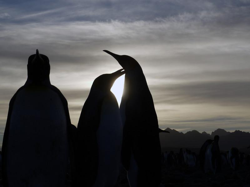 Preening king penguins on the beach at sunrise on the Salisbury Plain, South Georgia