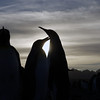 Preening king penguins on the beach at sunrise on the Salisbury Plain, South Georgia