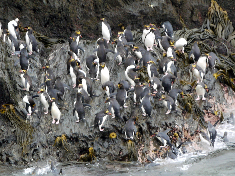Macaroni penguins in the Willis Islands, South Georgia