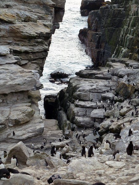 Rockhopper penguin colony on New Island, Falkland Islands