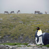 King penguins and reindeer at St Andrew's Bay, South Georgia