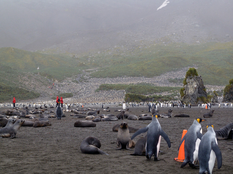 On the beach with fur seals and king penguins in Right Whale Bay, South Georgia