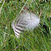 Stray magellanic penguin feather on Carcass Island, Falkland Islands