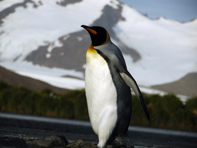 King penguin marching uphill to the colony on the Salisbury Plain, South Georgia