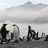 King penguins on the beach at St Andrew's Bay, South Georgia