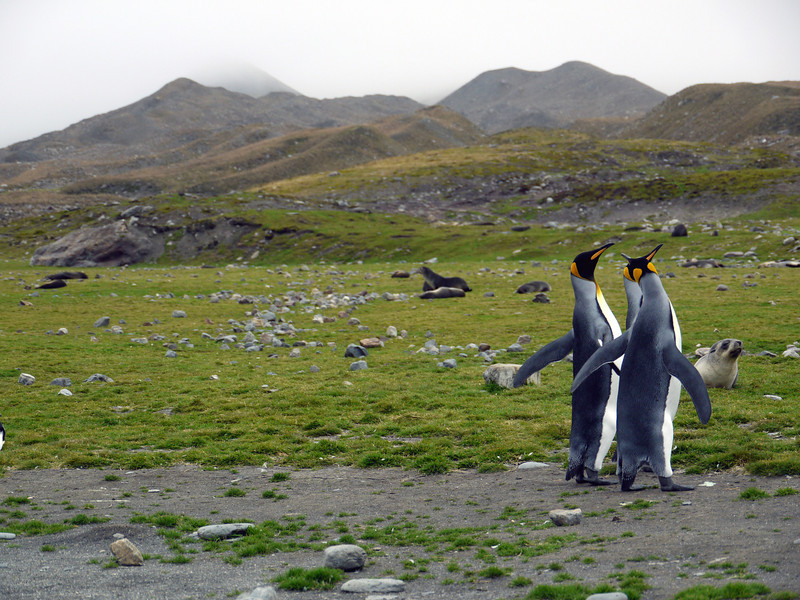 King penguins fighting for a mate at St Andrew's Bay, South Georgia
