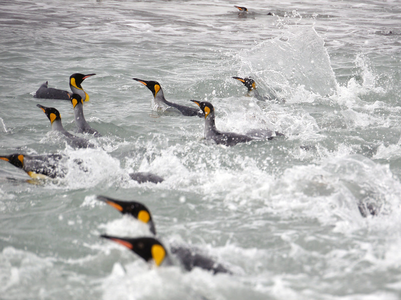 King penguins in the water at the Salisbury Plain, South Georgia
