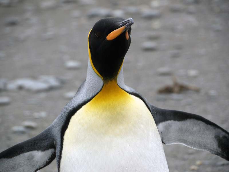 King penguin at St Andrew's Bay, South Georgia