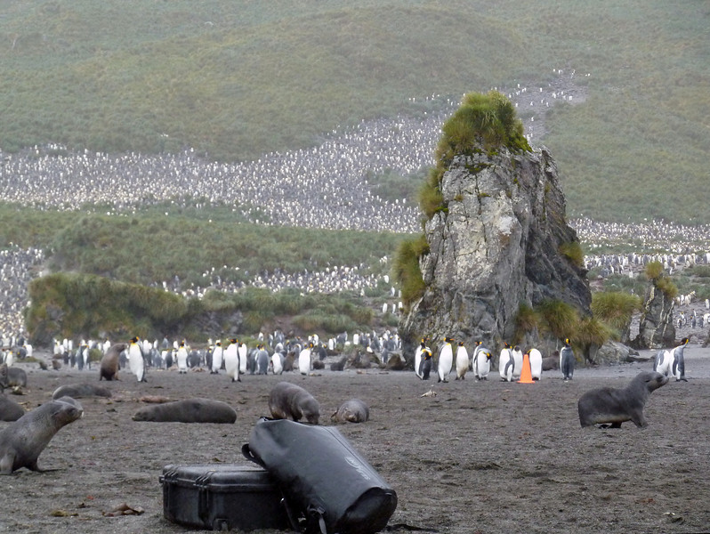 Fur seals and king penguins on the beach at Right Whale Bay, South Georgia