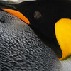 Detail of king penguin on the Salisbury Plain, South Georgia
