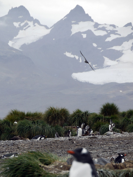 Wandering albatross flying above nesting Gentoo penguins on Prion Island, South Georgia