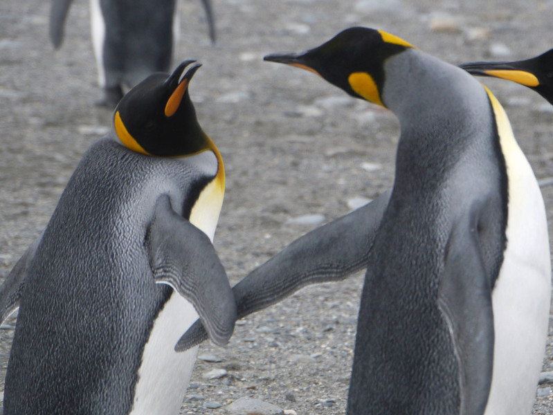 Courting king penguins at St Andrew's Bay, South Georgia