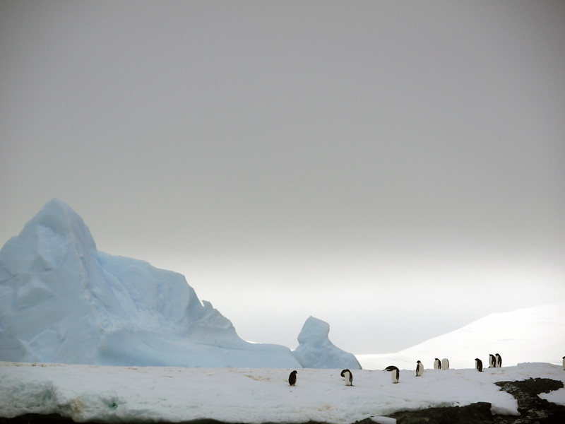 Stoic Gentoo penguins at Detaille Island, Antarctic peninsula