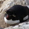 Lazy rockhopper penguin on New Island, Falkland Islands