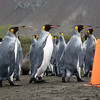 Orderly king penguins on the beach at Right Whale Bay, South Georgia