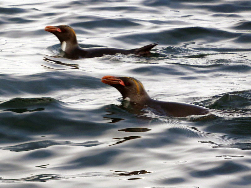 Macaroni penguins in the water at Elsehul, South Georgia