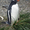 Gentoo penguin nesting on tussock grass on the beach at Prion Island, South Georgia
