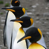 King penguin line up at St Andrew's Bay, South Georgia