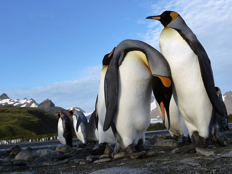 King penguin couple on the Salisbury Plain, South Georgia