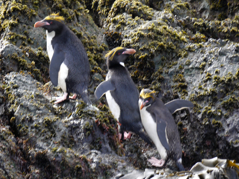Macaroni penguins on the rocks at Elsehul, South Georgia