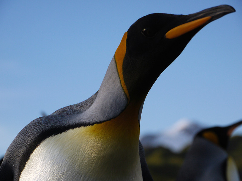 King penguin on the Salisbury Plain, South Georgia