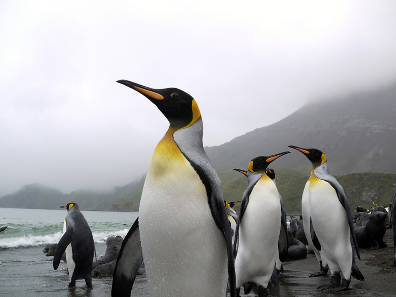 On the beach with king penguins in Right Whale Bay, South Georgia