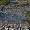 150,000 king penguin colony at Salisbury Plain, South Georgia
