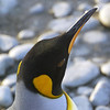 King penguin on the beach at sunrise on the Salisbury Plain, South Georgia