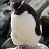 Rockhopper penguin on New Island, Falkland Islands