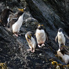 Macaroni penguins and chicks on the rocks at Elsehul, South Georgia