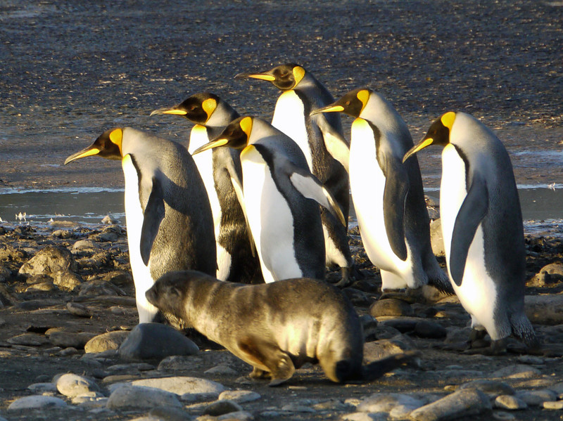 King penguins on the beach at sunrise on the Salisbury Plain, South Georgia