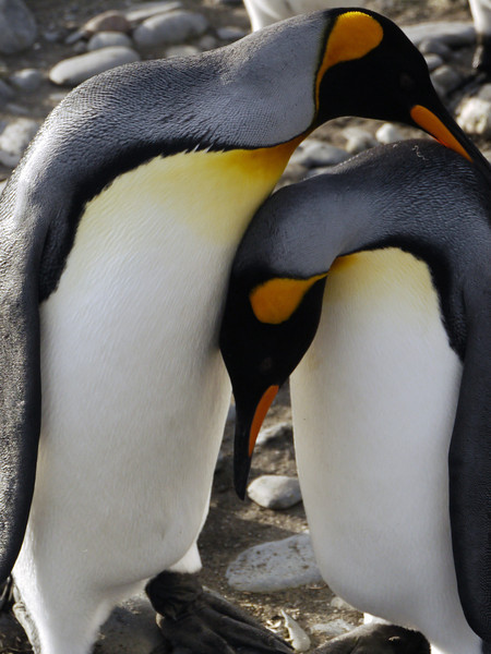 King penguin couple on the Salisbury Plain, South Georgia