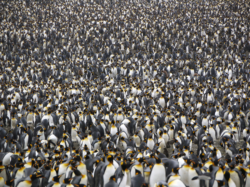 200,000 king penguin colony at St Andrew's Bay, South Georgia